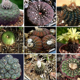 Wholesale 50 FINEST MIXED CACTUS Flower Seeds Colorful TT221
