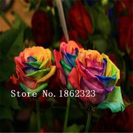 Wholesale Mystic Rainbow Rose seeds Flower Seeds Stratisfied Seeds bonsai garden supply
