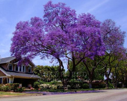 50 Best Paulownia Seeds empress tree Romantic Flower Great Aroma fast growing Free Shipping