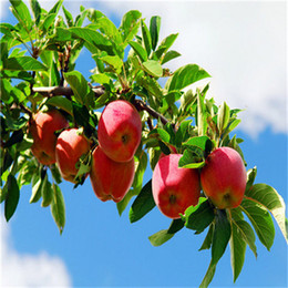 Цветковые деревья Онлайн-100 шт Бонсай Семена яблони редкие фрукты бонсай tree-- Америка красный вкусный семена яблок сад для плантаторов цветочный горшок