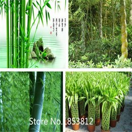 Wholesale Sale Colors bag Freshly picked bamboo seed large Mao bamboo edible Tree seeds