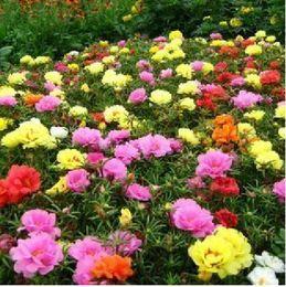 Wholesale 100 Seeds Mu Dan seed Rockii peony Mudan seeds for garden