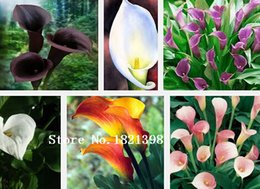 Wholesale Promotions Bonsai and Colorful Calla Lily Seed Rare Plants Flowers Seeds not Calla Lily Bulbs Calla Seeds