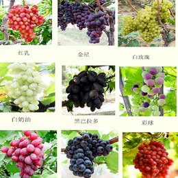 Wholesale mixed seeds pack grape fruit seed seed fruit tree seedlings potted seedlings Kyoho grape seed red mention child