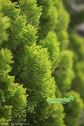 DIY Garden Asian NON GMO Platycladus orientalis bush for beautiful enviorment prevent animal seeds