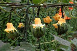 Wholesale TOTAL PACKSDecorative Pumpkins Gourds used for Decoration Ornamental Pumpkin Seeds Ornamental Gourd seeds