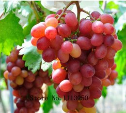 Wholesale 50pcs Pink Grapes Seeds Fruit Seeds Rare species bonsai