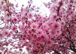 Купить Онлайн Цветковые деревья-20pieces розовый цвет вишня дерево Семена Семена, Sakura Цвет вишневый цветок семена Растения для сада Герметичный Бонсай Бесплатная доставка