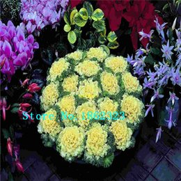 Wholesale 100pcs bag Kale seeds four color flowers Anti tumor Vegetable seeds Mix Color vegetable seeds balcony potted plants