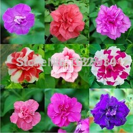 Wholesale bag Petunia seeds potted balcony planting seasons DIY planting flowers sprouting mixed color