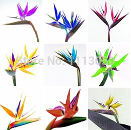Wholesale 100pcs pack Flower pots planters All sorts of color Strelitzia reginae seeds hybrid bird paradise seed Bonsai plants Seeds