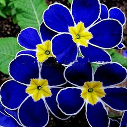 Wholesale Heirloom Blue Evening Primrose Seeds Flower Visually Stimulating Layouts