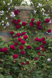 Wholesale 2015 Colourful Rainbow Rose Seeds Purple Red Black White Pink Yellow Green Blue Rose Seeds Plant Garden Beautiful Flower seeds