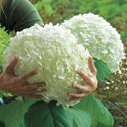 Wholesale 10 White Hydrangea Flower seeds rare color lasting gorgeous balcony or yarony or yard flower plant Free Sd flower plant SS204