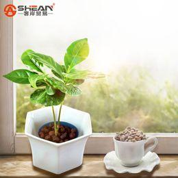 Wholesale A Pack Coffee Bean Seeds Balcony Bonsai Tree Plant Seed Coffee Cherry Seeds