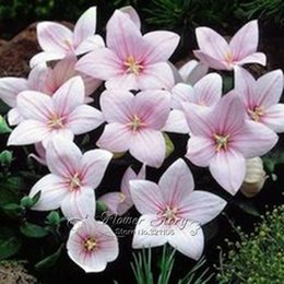 Wholesale 100 Pink Bell flower Seeds DIY Large Blooms in Magnificent Color Combination