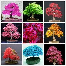 Wholesale Seven Different Varieties of Maple to Choose Maple Seeds Bonsai Tree Need Almost No Care garden Plant