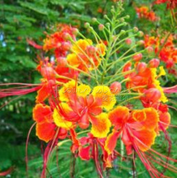 Wholesale 20 Mexican Red Bird of Paradise Caesalpinia Seeds showly TT300