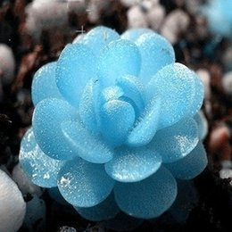 50seeds bag small rabbit Tetragonia Rose modeling packages succulents raw stone flower seeds