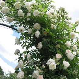 White Garden Rose Bush white rose plants samples, white rose plants samples suppliers and