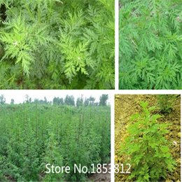 Wholesale Sale New Home Green Garden Plant Seeds Artemisia Annua Seeds One year Mugwort