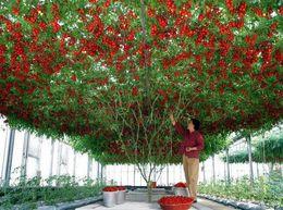 Wholesale 20 Italian Tree Tomato RARE HEIRLOOM SEEDS OF LIFE TOMATO GIANT TREE SS035