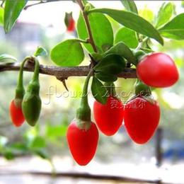 Wholesale 20 Organic HIMALAYAN TIBETAN GOJI BERRY WOLFBERRY FRUIT Bush Lycium Barbabarum Seeds TT015