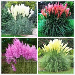 Wholesale Hot Colors Ornamental Grass Seeds so beautiful DIY home garden plant easy to grow high germination