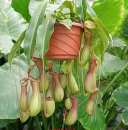 Wholesale 30 OFF Xmas Promotion Nepenthes eating mosquito varieties of seed plants mixed