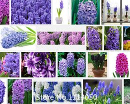 Wholesale Promotion PC hyacinth seeds bonsai flower seeds is not a light bulb Novel Seed