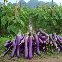 Wholesale 100 Eggplant Seeds Long Purple Organic Oriental DIY Home Potted or Yard Vegetable plant Easy to grow SS177