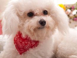 Wholesale 300 Hot New Small Adjustable Pet Dog Cat Bandana Scarf Collar Neckerchief