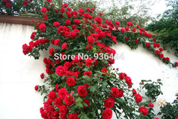 200 PCS red climbing rose seeds, Climbing Plants , Chinese Flower Seeds