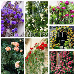 100 bag rare rose seeds Flower Seeds Mixed Color Climbing Roses Seeds for home decoration