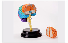 Wholesale Human Eastcolight anatomic brain skeleton anatomical skull model medic manikin for sale for esqueleto humano Children s Science Technology