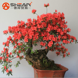 Wholesale 200 bag Rare Bonsai Red Azalea Seeds looks like Sakura Japanese Cherry Blooms Seeds