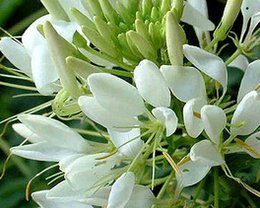 Wholesale 5000pcs a Drunk butterfly flower seed real price is for white color