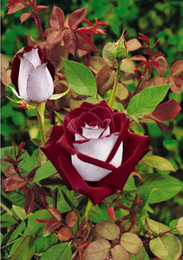 Wholesale Hot Whole Sale Red lips Rose Seeds Cheap Rose Seeds Charming Flowers Pieces Per Parcel High Quality Seeds