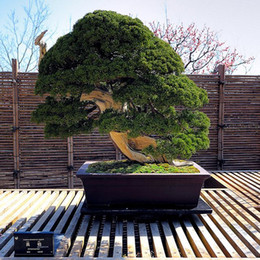 Wholesale 20 juniper bonsai tree potted flowers office bonsai purify the air absorb harmful gases SS044