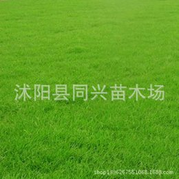 Wholesale Lawn grass seed seed grass grass grass slope for the four seasons trampling resistant varieties of imports