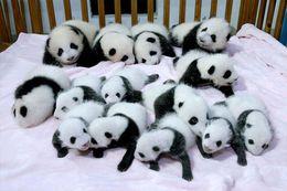Wholesale New Fashion Wall Decor Posters Panda Pandas Baer Bears Baby Cute Printed x75cm Big Size Poster Wall Sticker