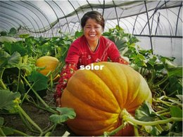 Wholesale Super Big Pumpkin seeds Giant Pumpkin Seeds Vegetable Seeds Seed particles