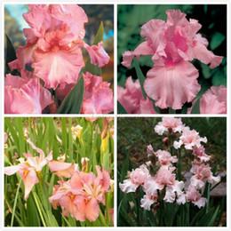 Wholesale Pink Iris Seeds Flower Favorites of Butterflies Useful Bees