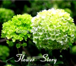 free shipping 10 Green Hydrangea Flower seeds,rare color ,lasting,gorgeous balcony or yard flower plant
