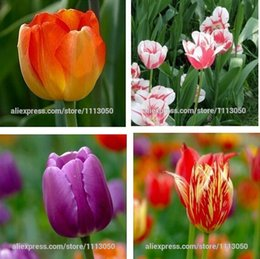Wholesale Tulip tulip seeds potted indoor and outdoor potted plants purify the air mixing colors tulip flower bag