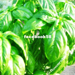 Wholesale 200 Seeds of Change S11034 Certified Organic Thai Basil