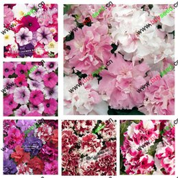 free shipping Pan-american flower petunia petals double waterfall soft Pink flower seeds - 200 pcs