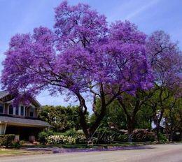 Wholesale Non Hybrid Paulownia Seeds Bonsai Tree Full of Bloom During the Season Garden