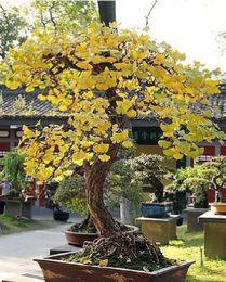 Wholesale Cheap Bonsai Magical Ancient Foliage Plants Golden Yellow Potted Ginkgo Biloba Seeds seeds