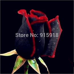 Wholesale Bonsai Flower seeds Rare Amazingly Beautiful Black red edge rose seeds Home Garden DIY